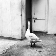 Ducks_007