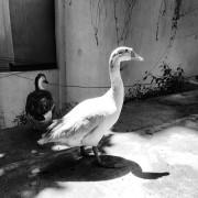 Ducks_009