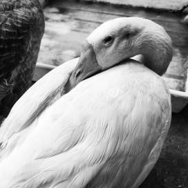 Ducks_010