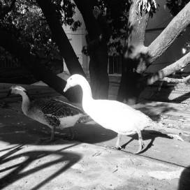 Ducks_016